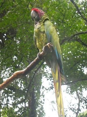 Great Green Macaw Release 2 – Nobby