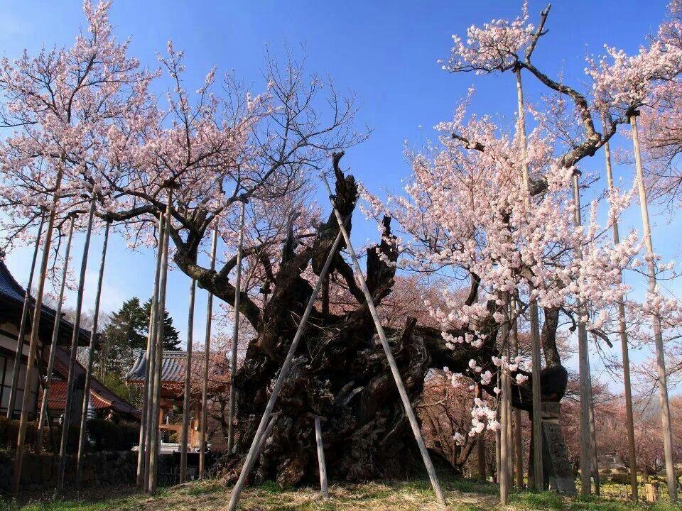 The Yamataka Jindai Zakura At The Jissoji Temple In Yamanashi Prefecture Is Estimated To Be 2000 Years Old Cherry Blossom Tree Blossom Trees Cherry Blossom