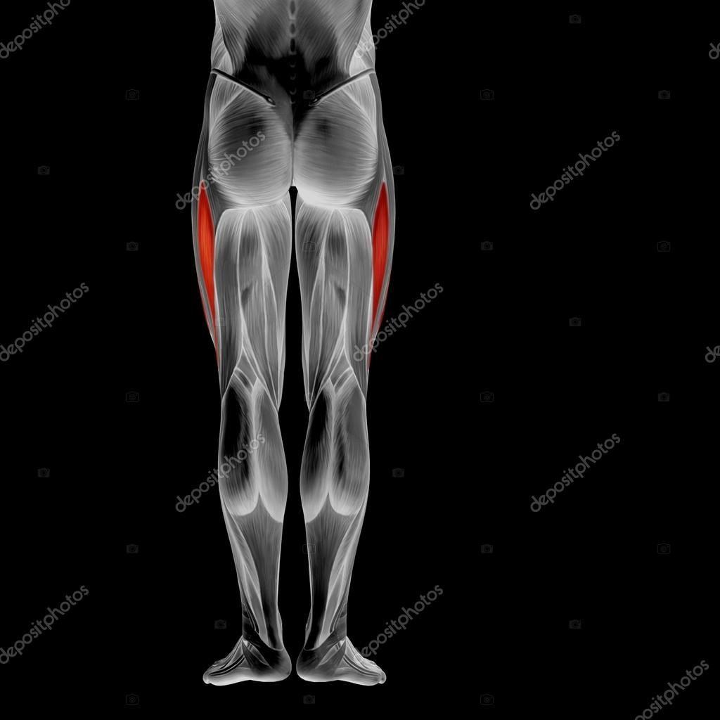 Human upper legs anatomy - Stock Photo , #AFF, #legs, #upper, #Human, #Photo #AD