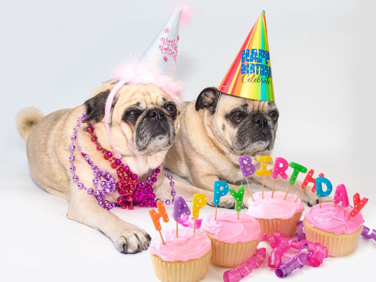 которые поздравление с днем рождения с мопсами выбор