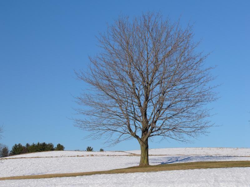 дерево без листвы фото натуральными