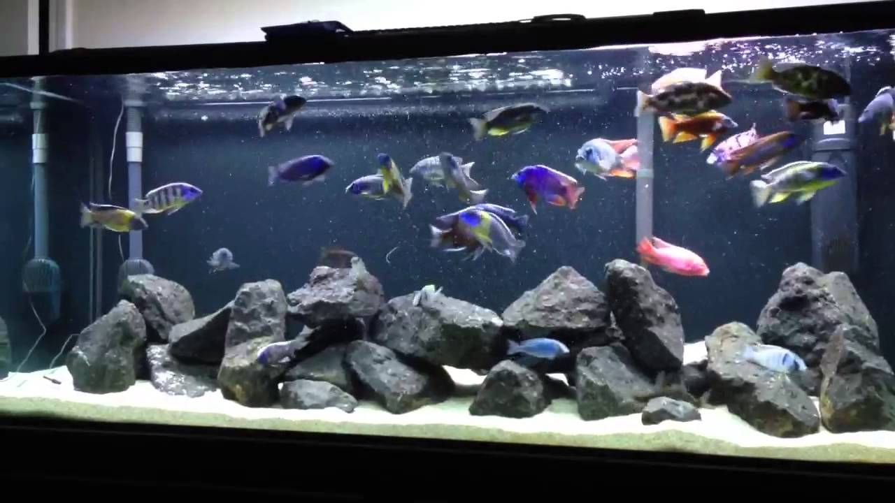 Very Active African Peacock And Hap Tank Crystal Clear Water Feeding Cichlid Aquarium Fish Aquarium Decorations African Cichlid Aquarium