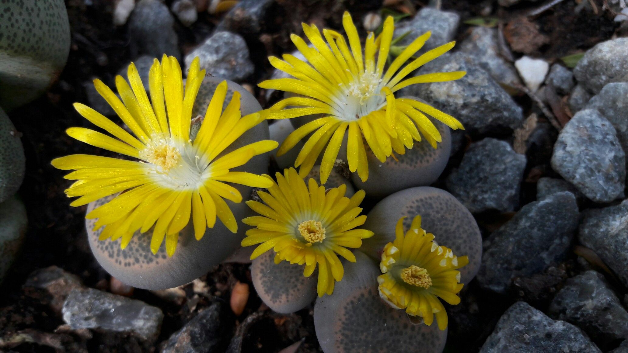 Lithop Flower Yellow Our Succulents Aloes And Lithops Pinterest