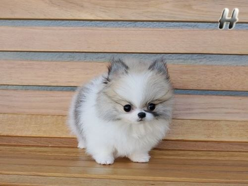 Small Dogs Rock Tiny Cute Pomeranian Pup Hanging Out On A Bench