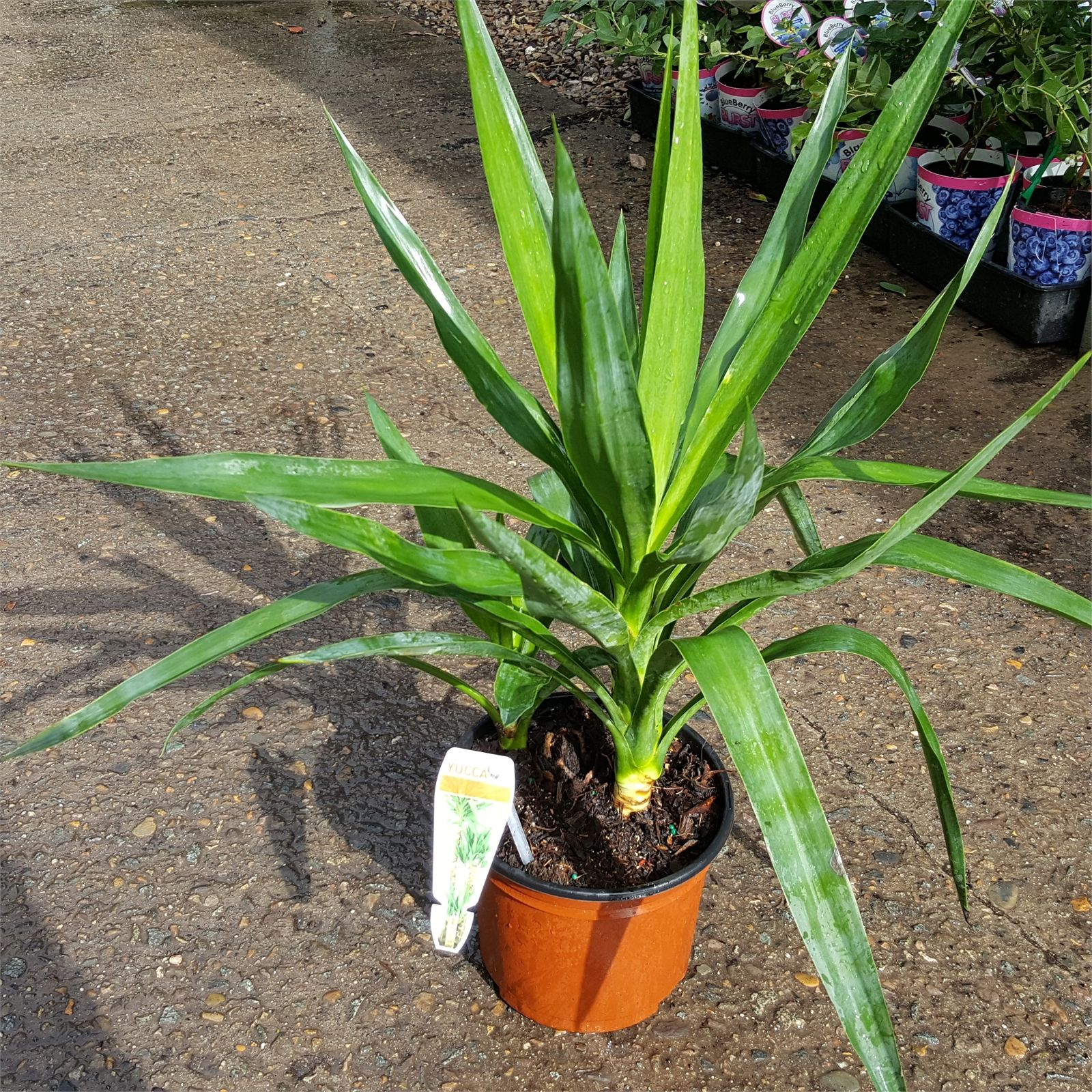 Find 200mm Elephantipes Spineless Yucca at Bunnings