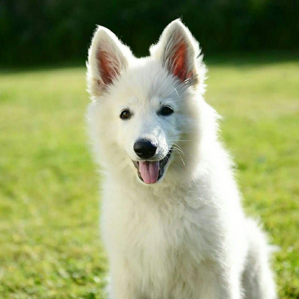Hvit gjeterhund berger blanc suisse white german