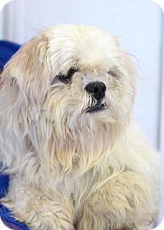 College Station Tx Shih Tzu Lhasa Apso Mix Meet Stark A Dog For Adoption Dog Adoption Shih Tzu Lhasa Apso