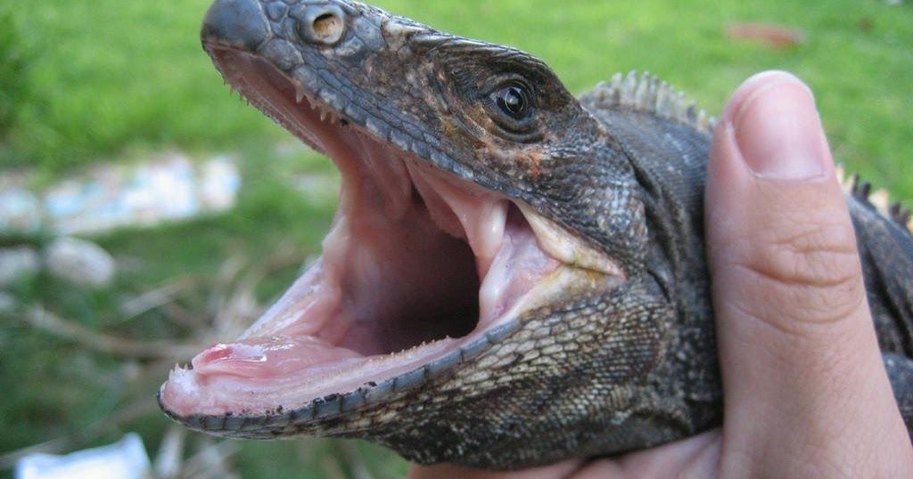 Iguanas are diurnal meaning that they