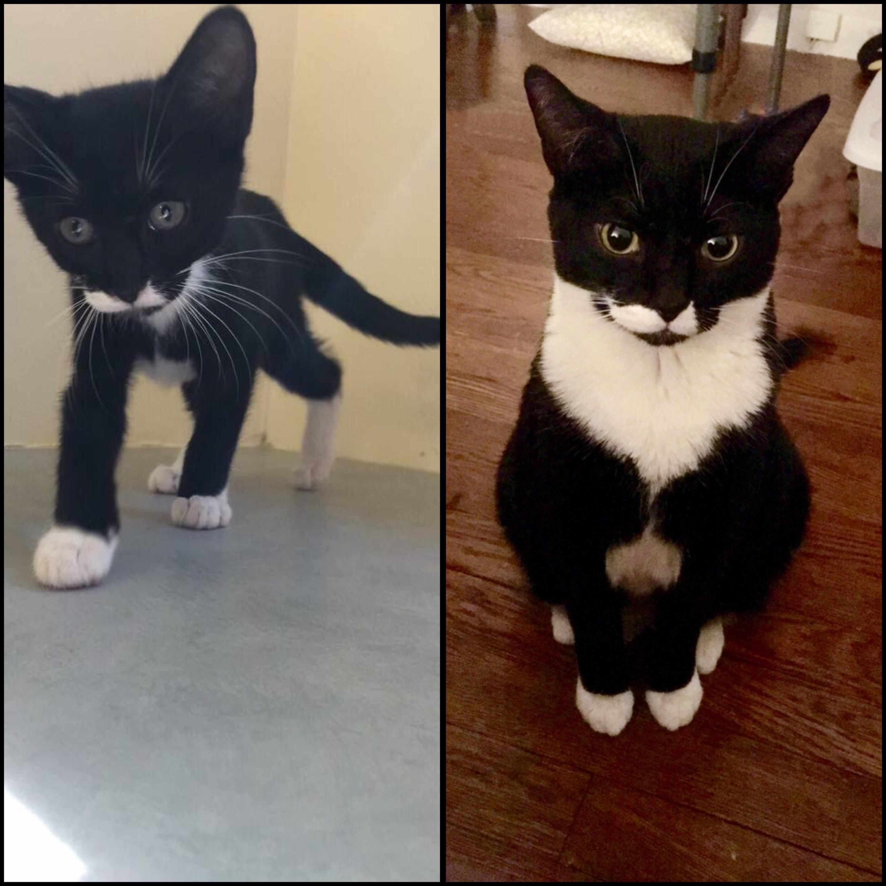 Someone Said You Might Like To Meet Batman Here He Is 8 Weeks Vs 3 Years Old Cat Having Kittens Bicolor Cat Cat Fleas