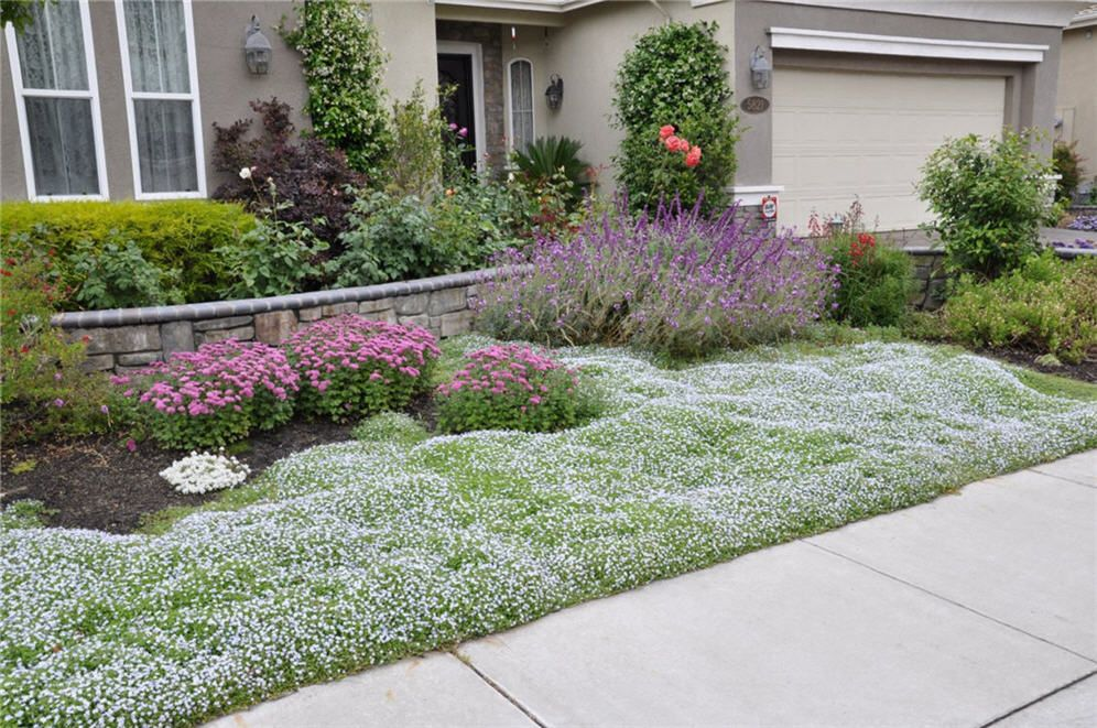 Dymondia Lawn a type of margaurite hardy to 20 degrees