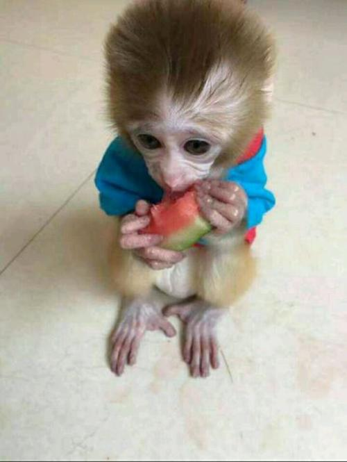 Smart Monkeys Need To Be Cared For As Human Pets Page 5 Of 50 Sciliy Pet Monkey Monkey Pictures Baby Animals Funny