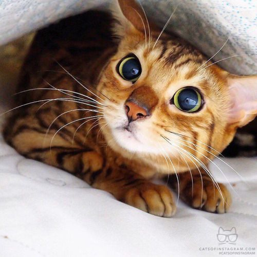 From Bengal Pyu She Likes Playing Hide And Seek I Catch Her Under The Blanket And She Was Embarrassed Catsofinstagram Source Http Ift Tt 1yajles