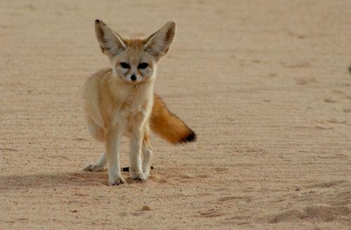 حيوانات الصحراء الجزائرية الفنك هو ثعلب صغير ويسمى أيضا ثعلب الصحراء يعيش في الصحراء الكبرى بشمال إفريقيا وعلى وجه الخصوص الجزائر Fennec Fox Fox Fox Pictures