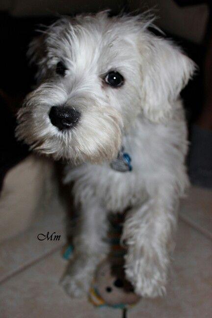 My White Mini Schauzer Babygandalf 3 Months Beautiful Dogs Cute Animals Cute Dogs