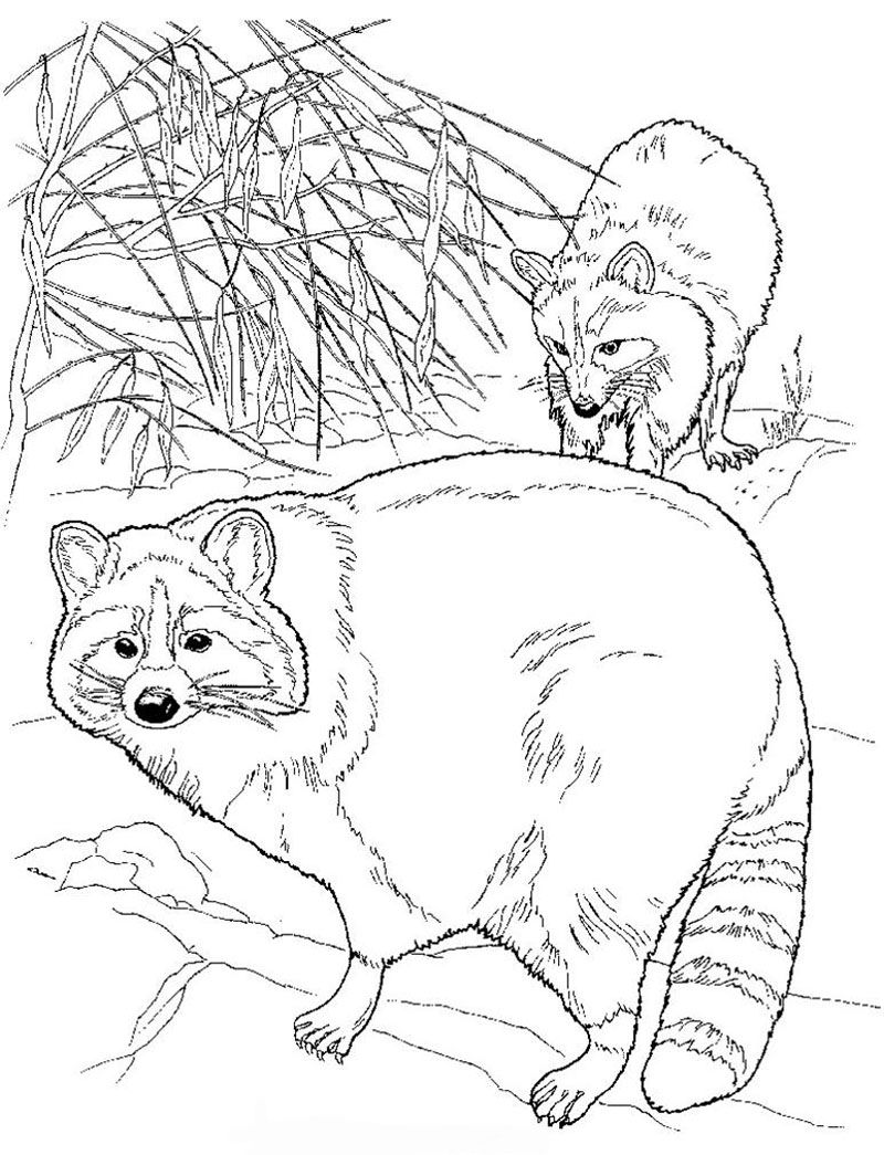 Raccoon Color Page Yellowstone Vacation Pinterest Raccoons