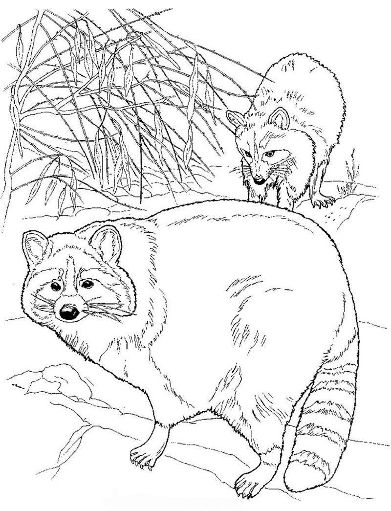 Raccoon Coloring Page Preschool