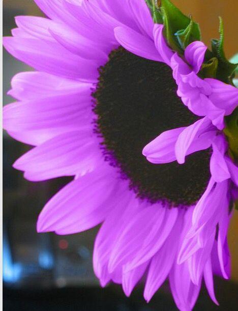 Purple Sunflower Beautiful Flowers Garden Beautiful Flowers Pretty Flowers