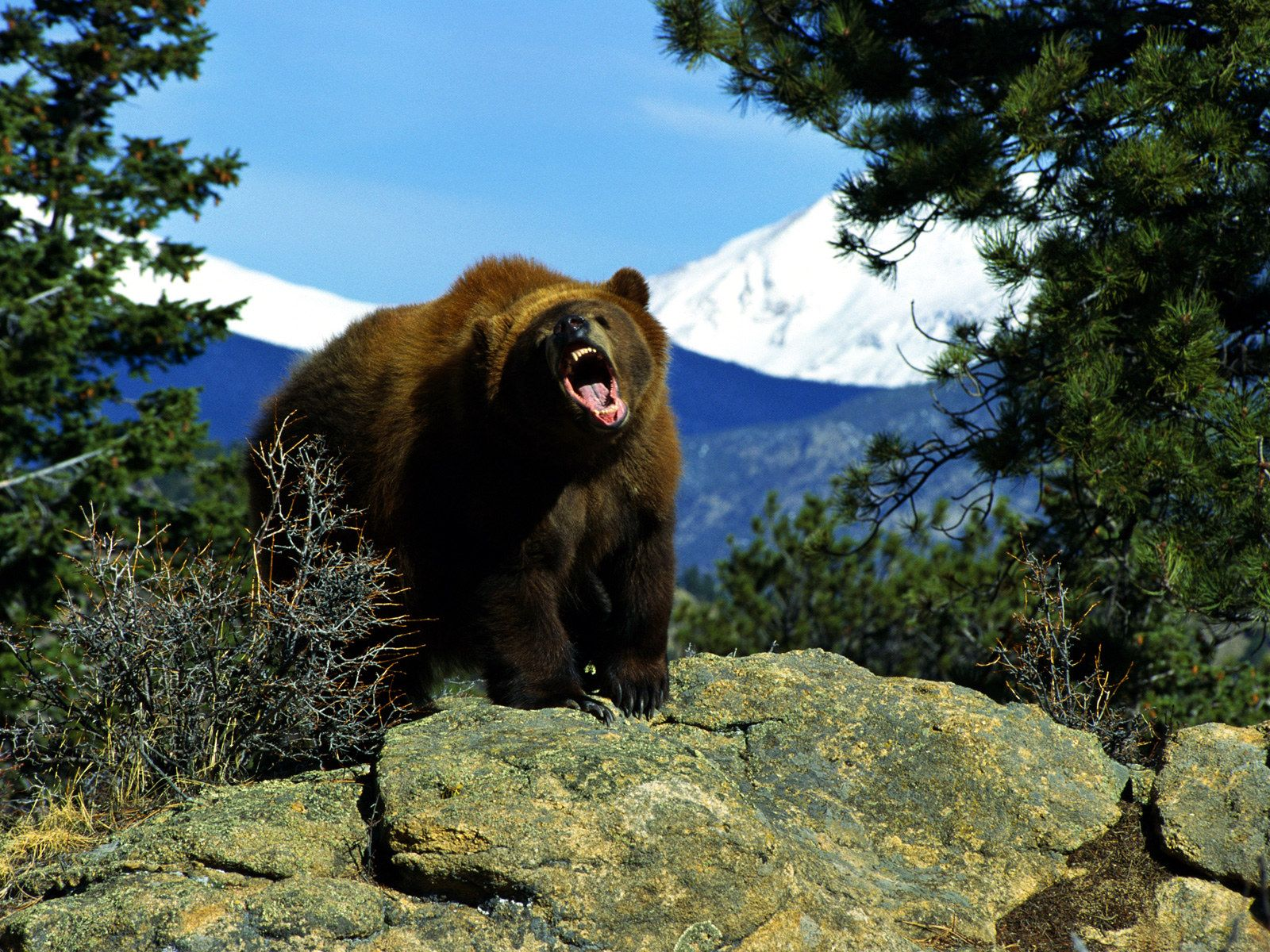 grizzly bear roar | bad-ass animals | pinterest | bear wallpaper and
