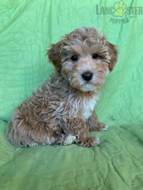 Rudolf Havapoo Puppy for Sale in Millersburg, OH
