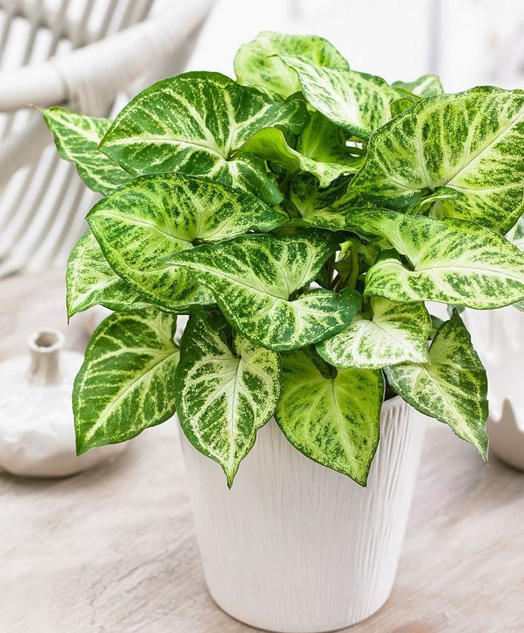 plants indoor arrowhead vine syngonium podophyllum - House Plants Vines