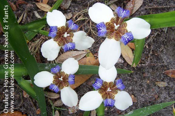 Blue /& white walking iris Neomarica gracilis plantlets