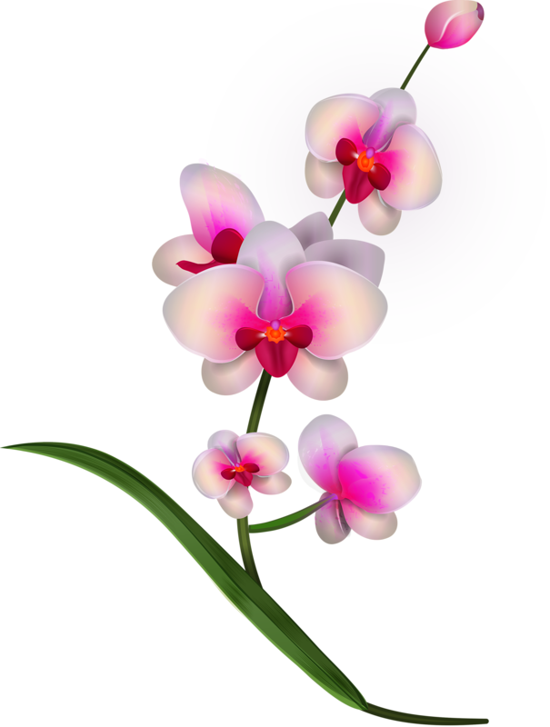 Vesennie Orchid Drawing Orchids Orchid Illustration