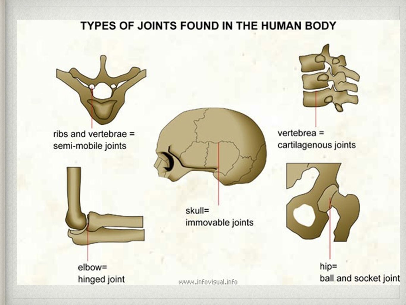 Type Of Joint Found In The Knee And Elbow Healthy Bones