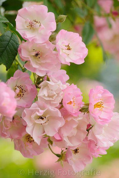 photo rosa blush rambler rose by tina horst herzig