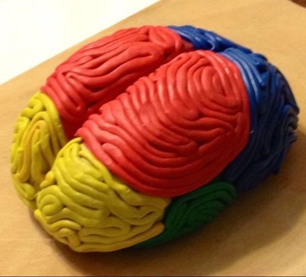 Brain Model Project Anatomia Do Cerebro Sistema Nervoso