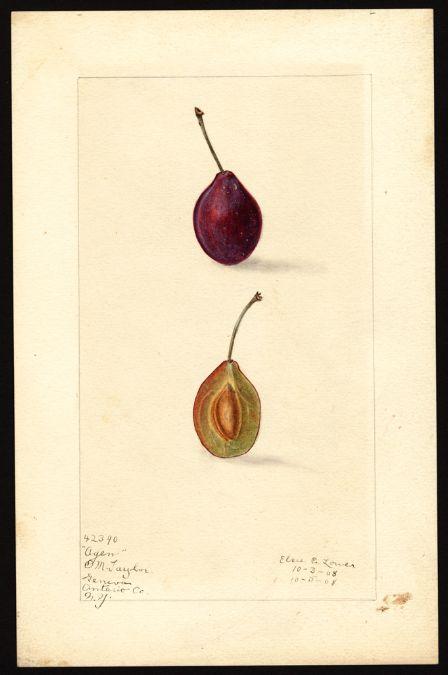 Artist Lower Elsie E B 1882 Scientific Name Prunus Domestica