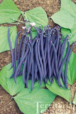 French Filet Bush Bean Velour Has Skinny Purple Beans 5 400 x 300