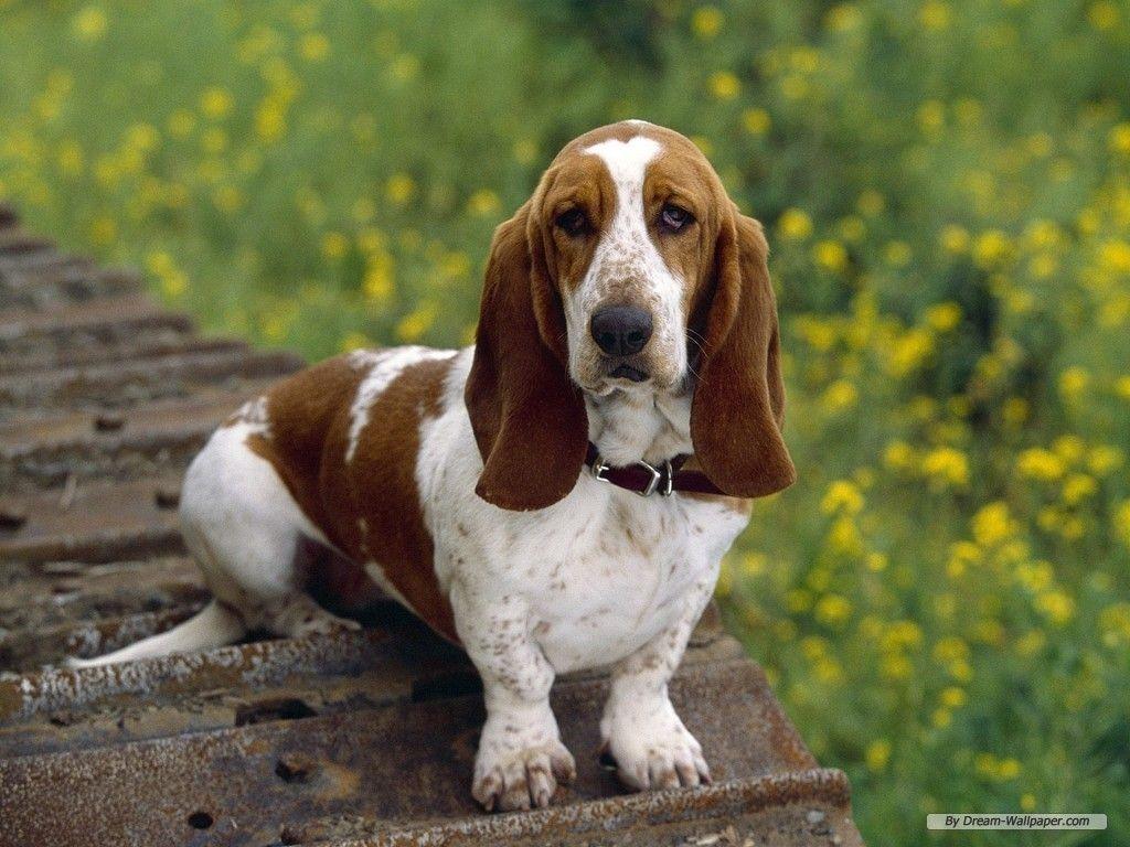 Dogs Wallpaper Basset Hound Wallpaper Hound Puppies Basset Hound Puppy Hound Dog