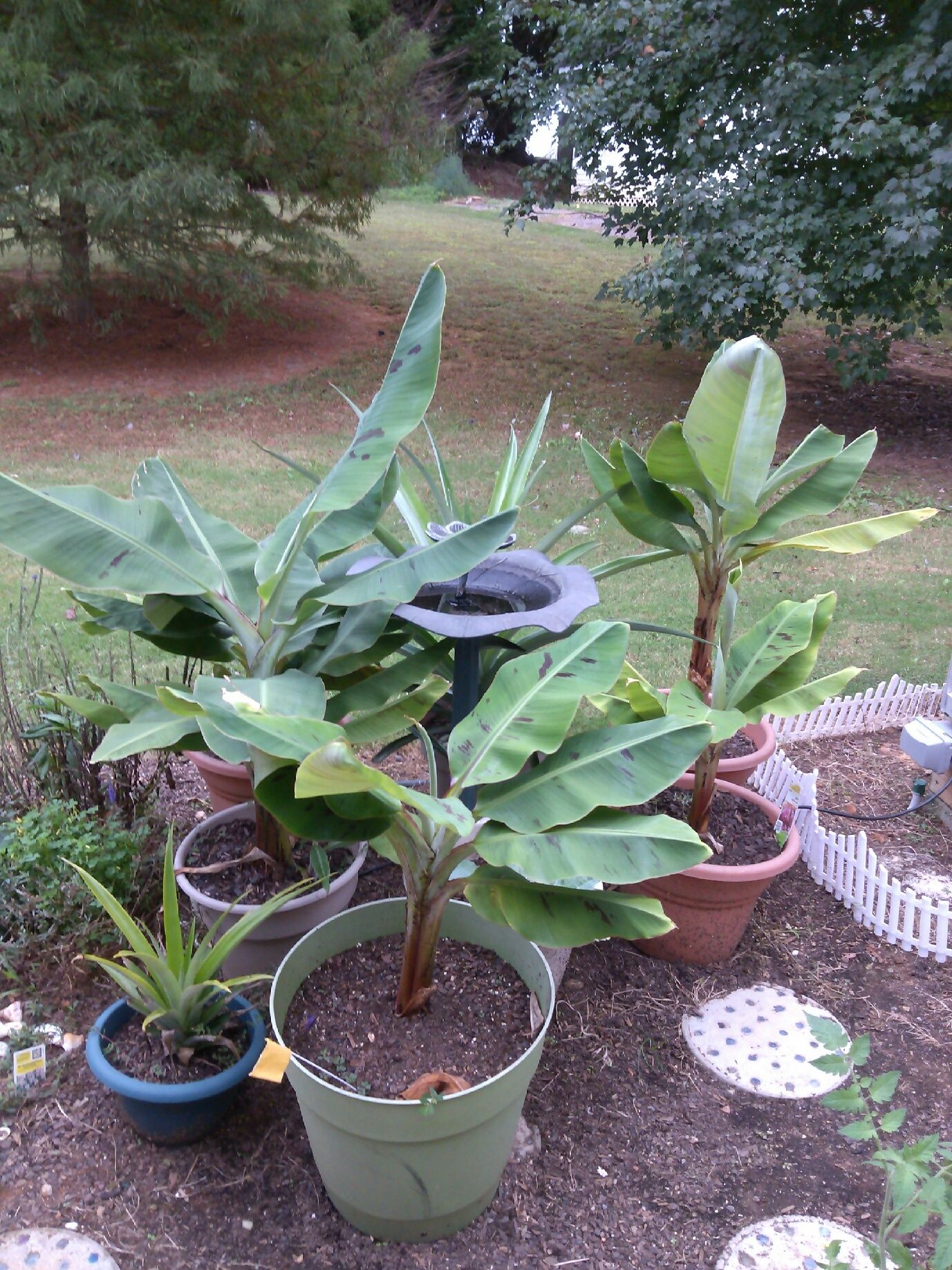 banana trees u0026 pups and a few pineapple bushes in my garden 102