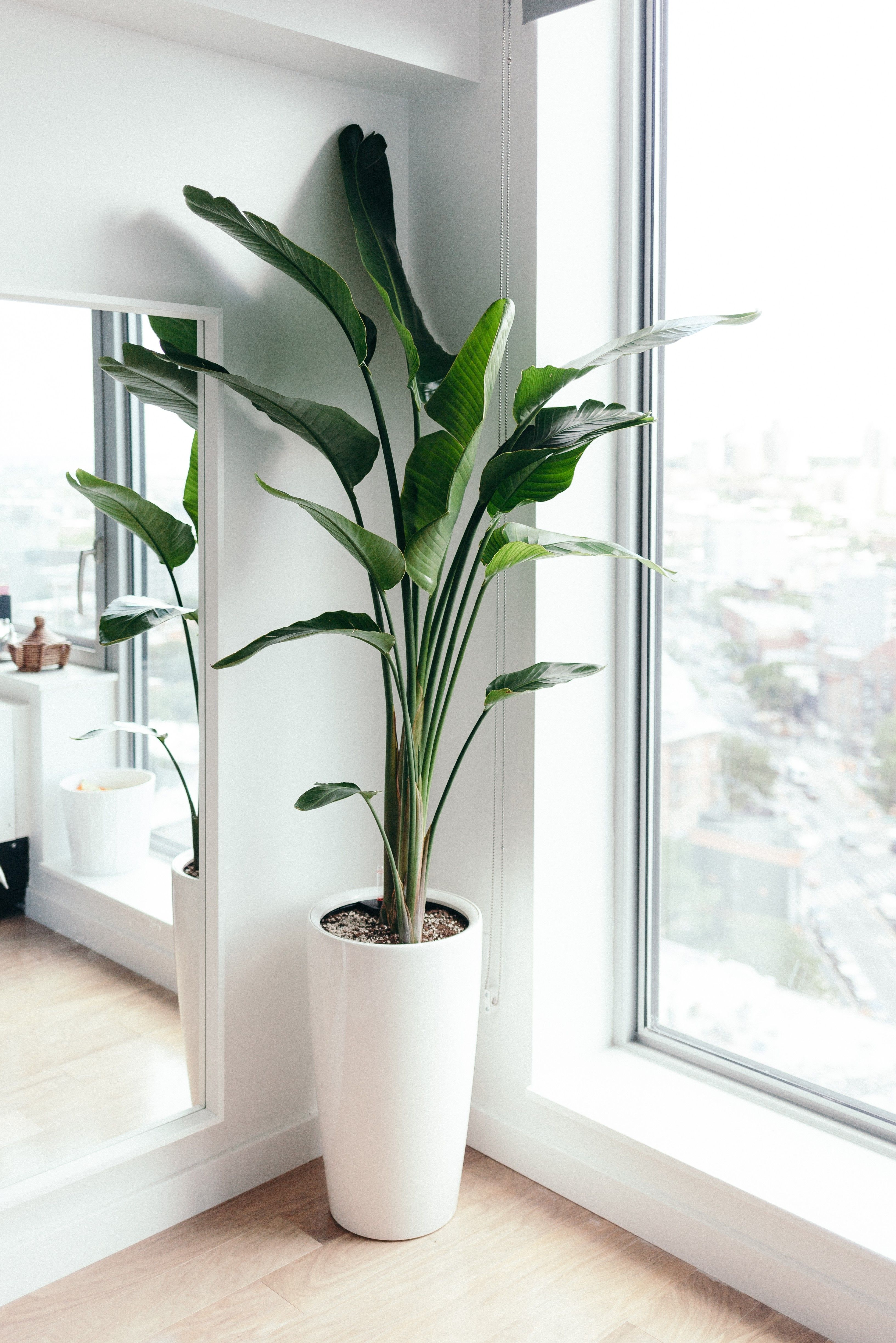 Home Tour How To Create A Zen Work From Home Space Om The City Living Room Plants Tall Indoor Plants Birds Of Paradise Plant