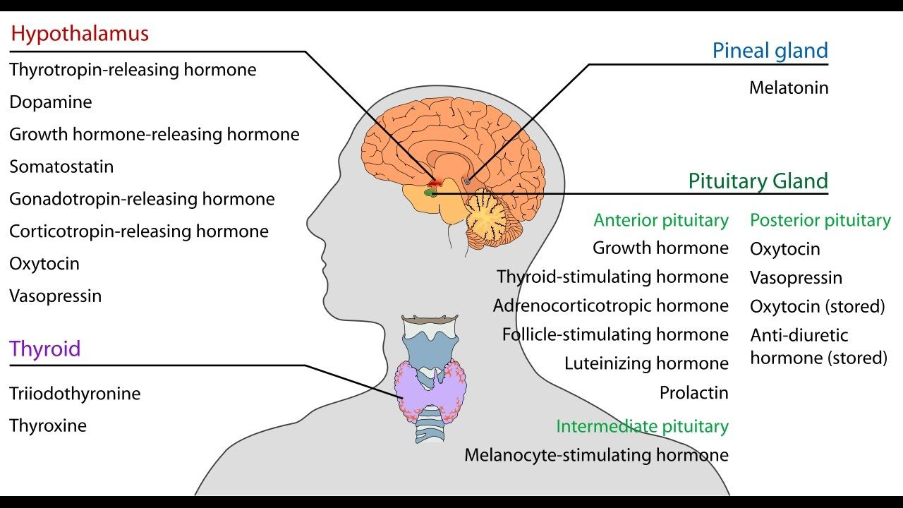 hight resolution of pituitary gland stimulation i hormone production hgh acth tsh l