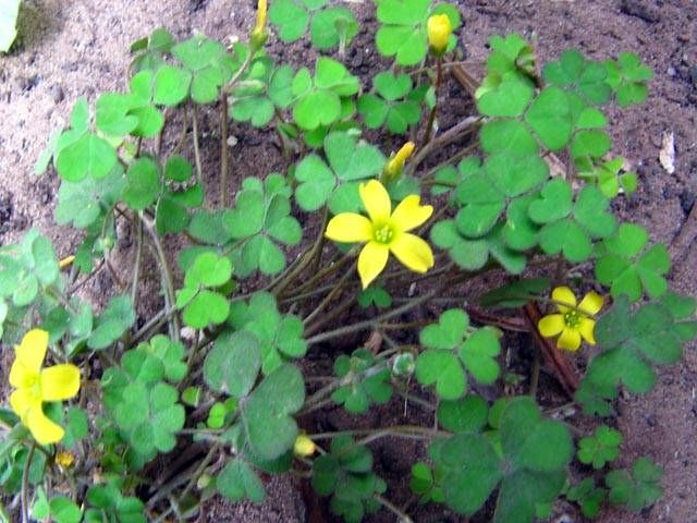 Wood Sorrel Oxalis Yellow Weed Attracts Mourning Doves