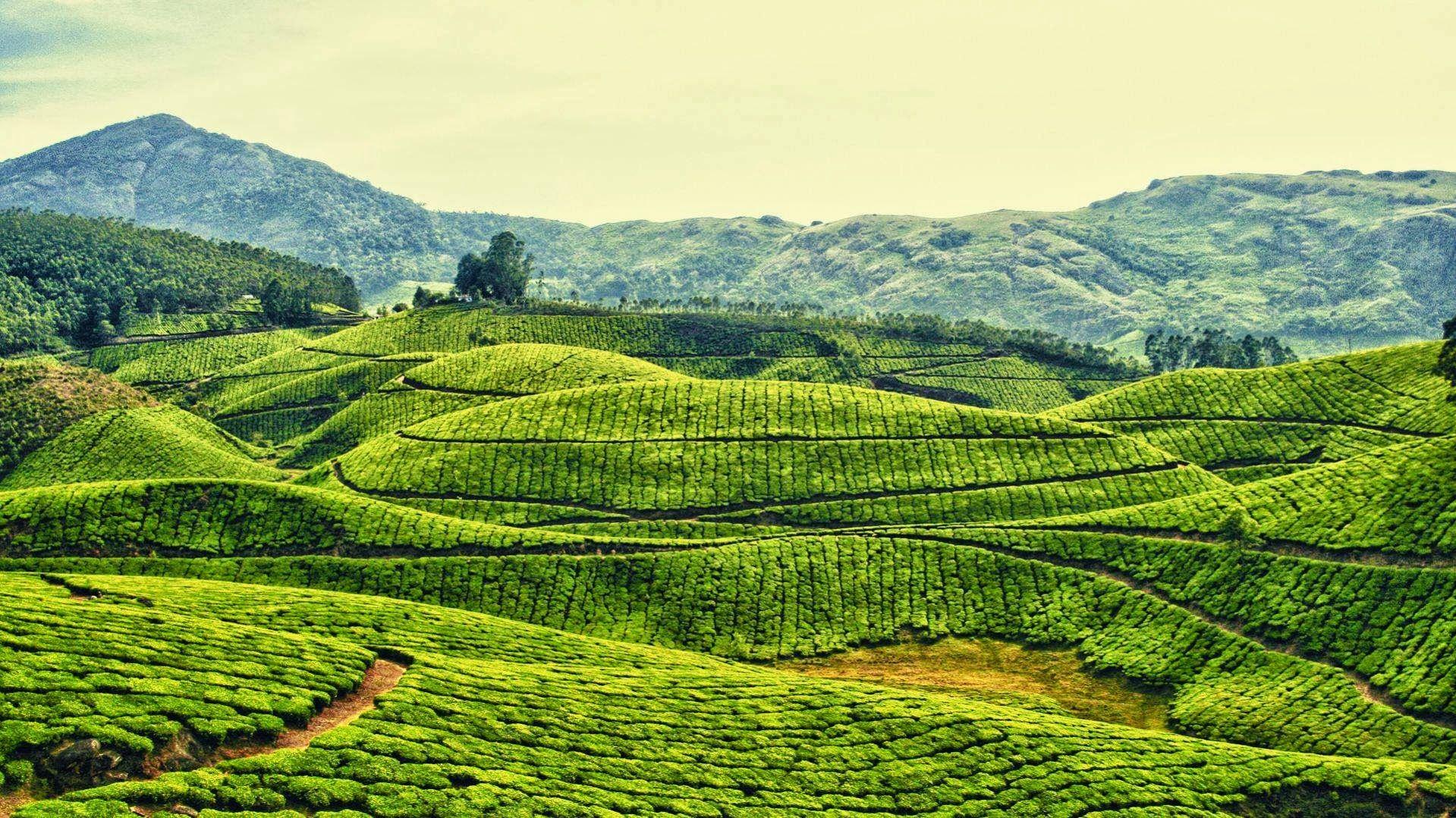 Piantagioni di tè nello Stato del Kerala, nel sud dell'