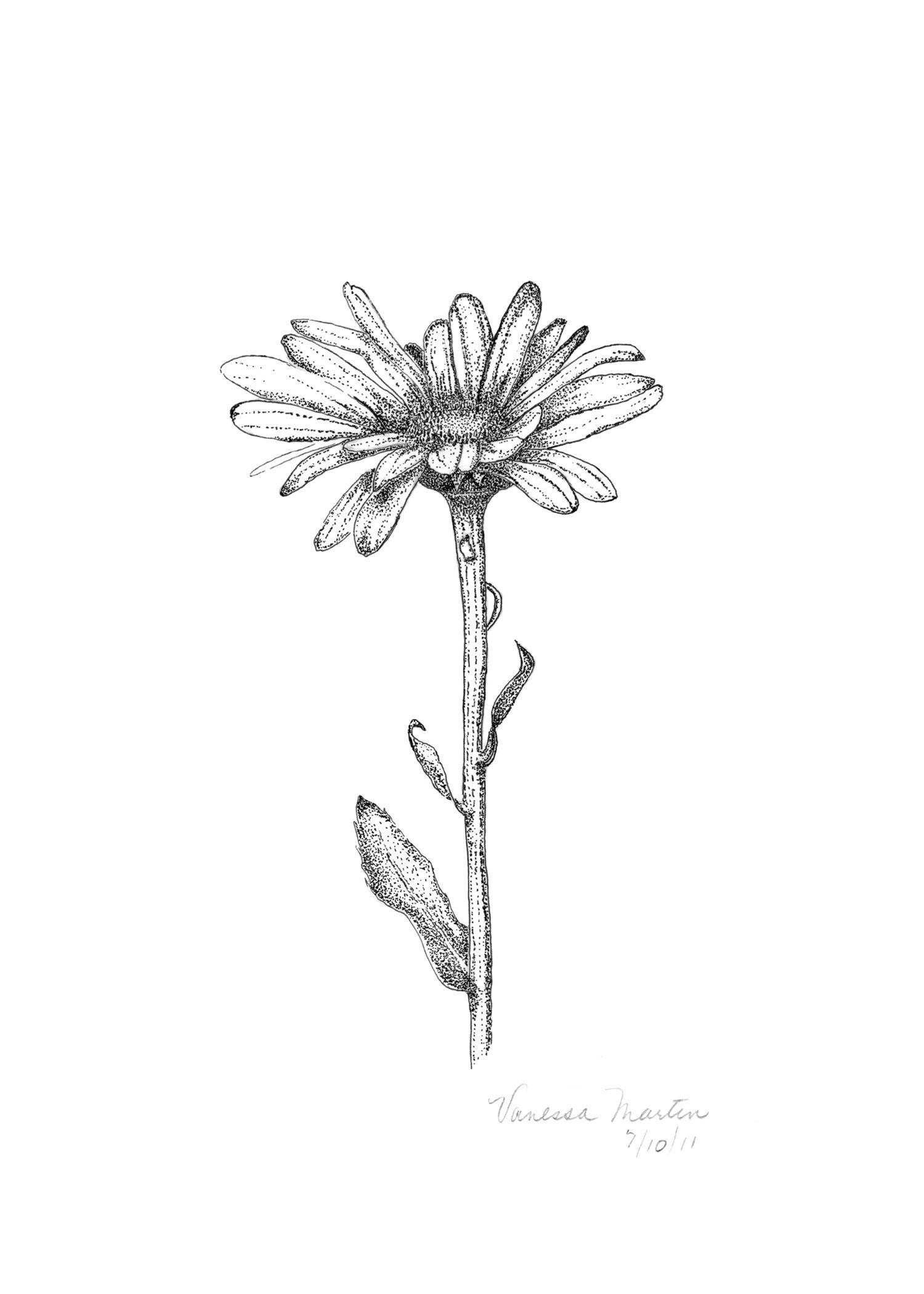 Shasta Daisy Art and Illustration Pinterest