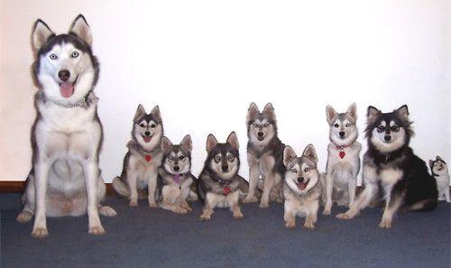 Alaskan Klee Kai Next To A Siberian Husky The AKK Are Full Grown I WANT One