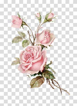 Pink Rose Illustration Flower Bouquet Garden Roses Floral Design Postcard Transparent Background Png Cl Flower Illustration Rose Illustration Floral Painting