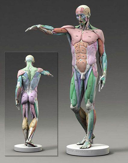 Like Anatoref Found Art Pinterest Muscles Anatomy And