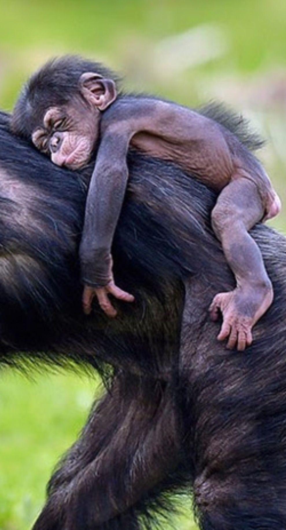 Ohhh So Niedlich Ein Ganz Junger Schimpanse Auf Mom S Rucken Die