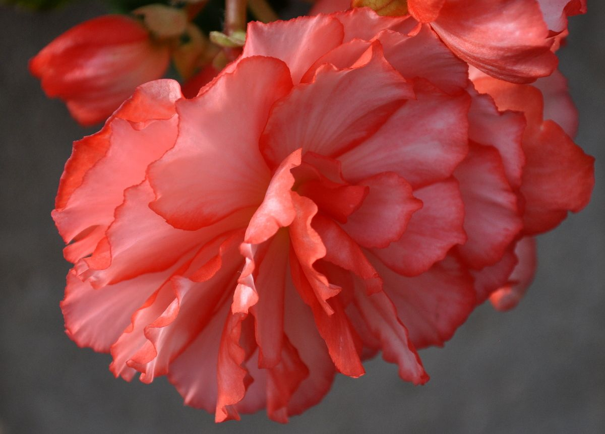 Double Begonia At Honkers Flats Begonia Flowers Plants