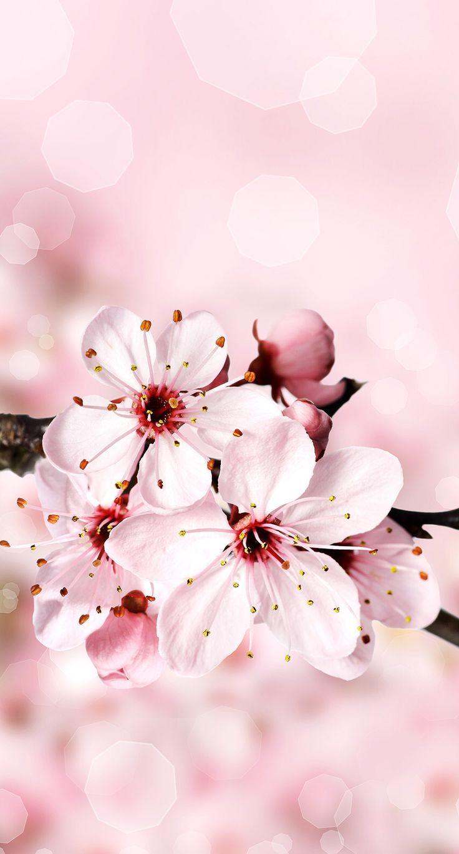 Cherry wallpaper. – #cherryblossom # cherry blossom wallpaper