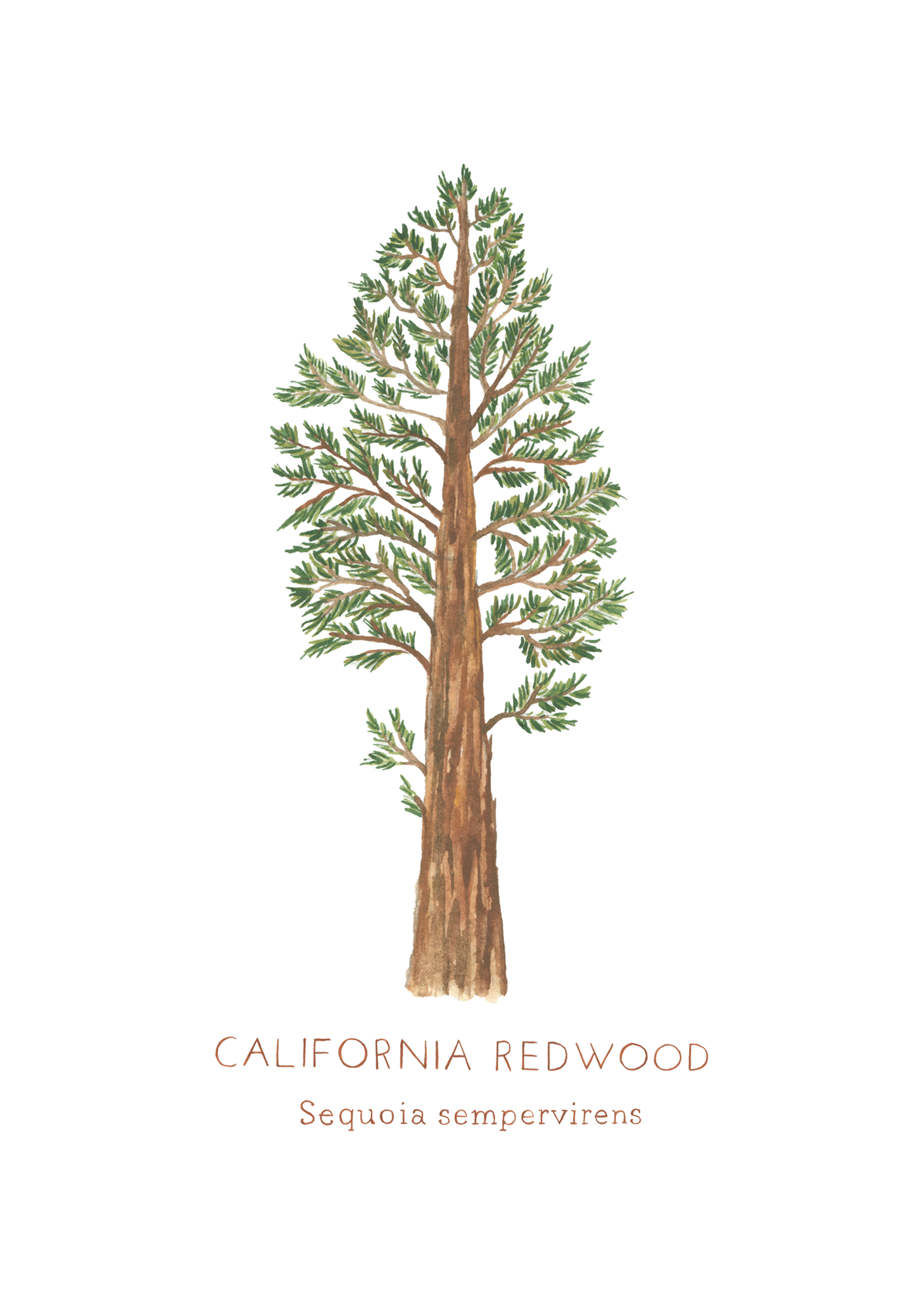 Image Result For California Redwood Tree Illustration Tree Illustration Redwood Tree Sequoia Sempervirens