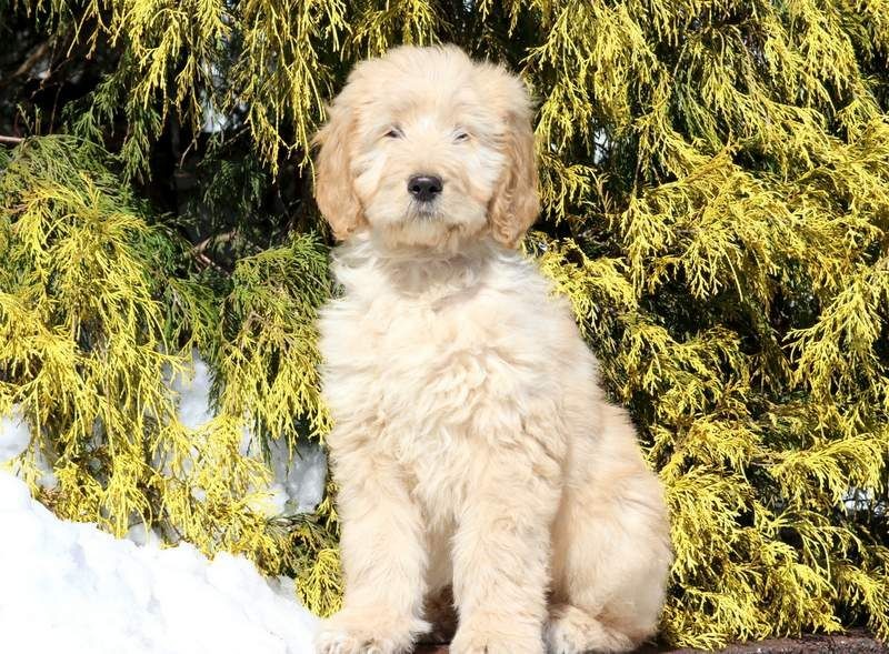 Goldendoodle Puppies For Adoption In Michigan Ideas