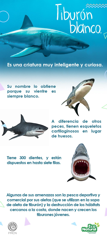 Los tiburones blancos son los peces depredadores más grandes del ...