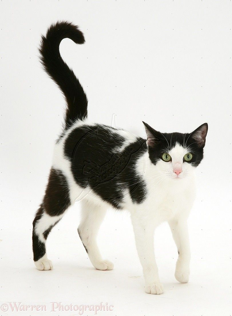 Black And White Cat White Cats Cow Cat Black Cat Pictures