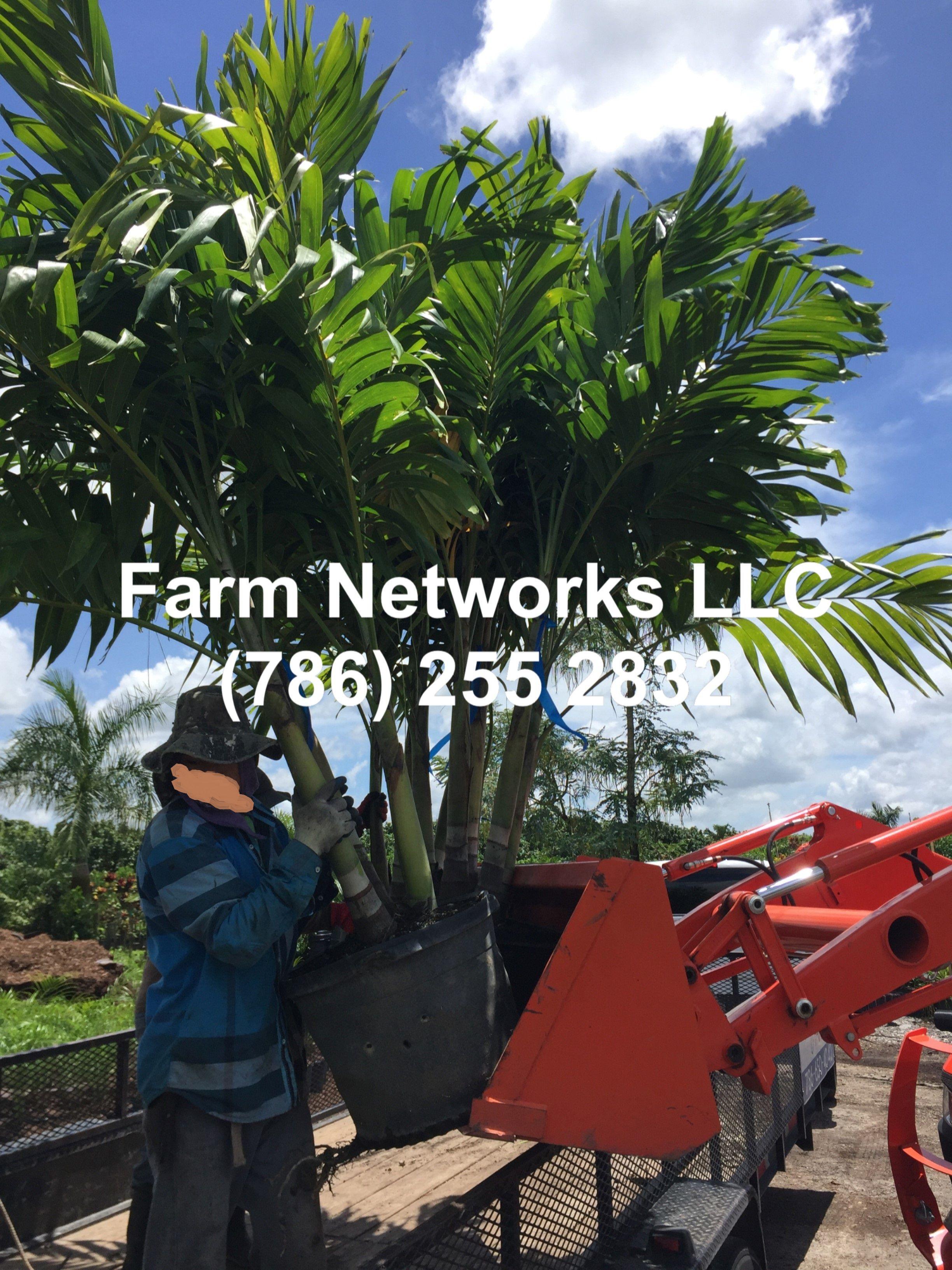 15 Gallon Triple Christmas Palm Trees Florida Palm Trees