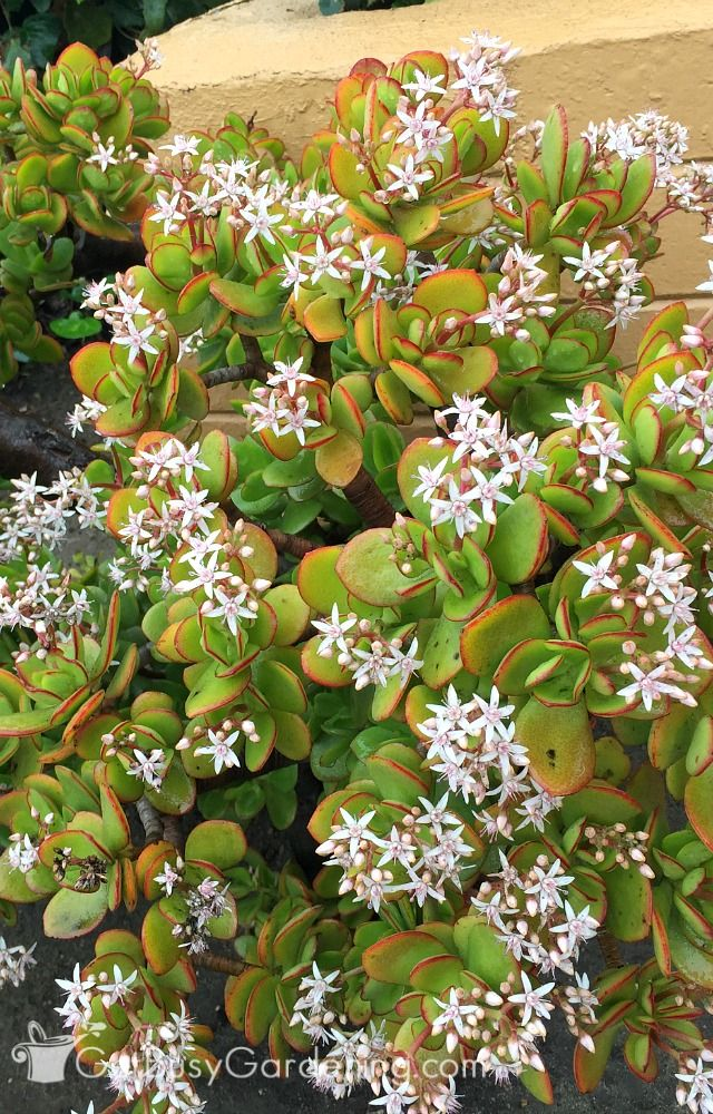 How To Care For A Jade Plant Gardening Tips Amp Ideas
